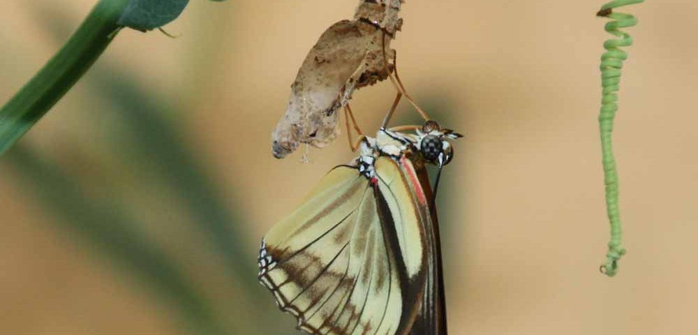 van rups naar vlinder